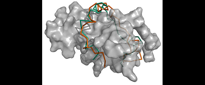 Structural Modeling of Protein Complexes with Disordered Proteins