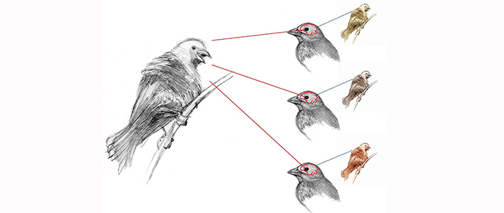 Bird females see male signals differently