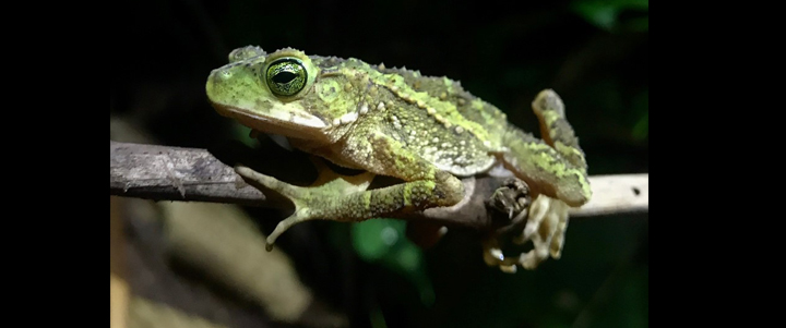 Conservation and disease in tropical amphibians